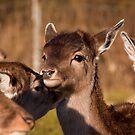 Fallow Deer by Zeanana