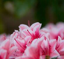 Rhododendron - Botanical Garden Munich by Melanie PATRICK