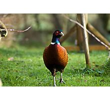 Pheasant Braving The Cold Photographic Print