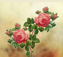 vintage pink roses by studenna