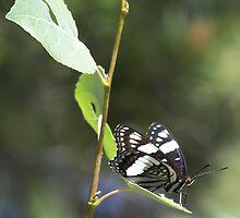Wild Mountain Butterfly by Rachel Sonnenschein