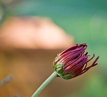 Spider Chrys Bud by olivia destandau