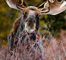Moose in Cucumber Gulch by Josh Dayton