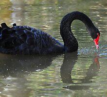 Black Swan (Cygnus atratus) by Geoff Beck