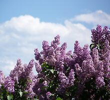 Lilac Clouds by BettyEDuncan