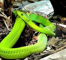 Green Mamba by Veronica Schultz