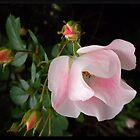 Pink Roses by Vicki James