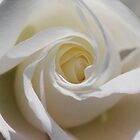 White Wedding Rose by MissyD