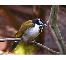 Blue-Faced Honey Eater  Photographic Print