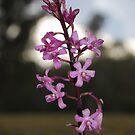 Hyacinth orchid by GeoGecko