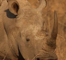 White Rhino by Jo McGowan