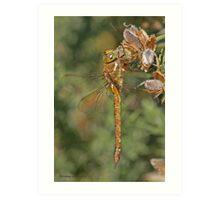Norfolk Hawker dragonfly Art Print
