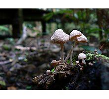 Little cream mushrooms Photographic Print