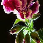 Geranium Flowers by Marc Garrido Clotet