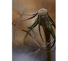 Dandelion Decline Photographic Print