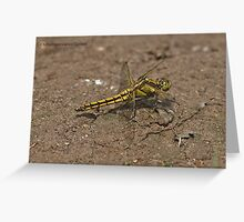Black-tailed Skimmer dragonfly Greeting Card