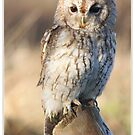 Tawny owl by AngiNelson