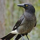 Currawong by Meg Hart
