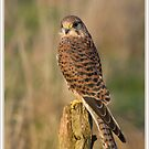 Kestrel by AngiNelson