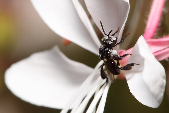 Australian Native Bee by Andrew Durick