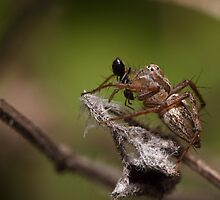 Lynx Spider and prey by Andrew Durick