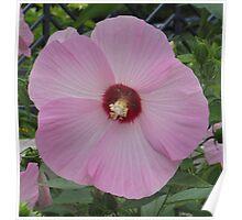 Lt. Pink Hibiscus Poster