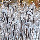 Frozen Reeds by HELUA