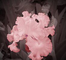 Pink Iris by mark4321