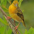 Yellow Bird by Robert Abraham