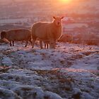 Warm glow sheep by Margaret Brown