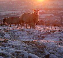 Warm glow sheep by Margaret Brown