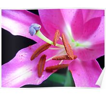 Pink Lily macro. Poster