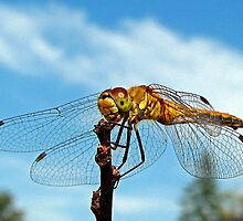 White-Faced Meadowhawk <>  Sympetrum obtrusum by Chuck Gardner