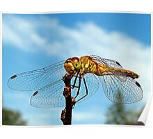 White-Faced Meadowhawk <>  Sympetrum obtrusum Poster