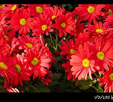 Wonderful RED by apollon