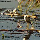 Egret, Kakadu, Australia by Bill  Russo