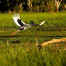Jabiru, Kakadu, Australia by Bill  Russo