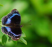 Hypolimnas alimena (Blue-Banded Eggfly) by Geoff Beck