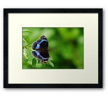 Hypolimnas alimena (Blue-Banded Eggfly) Framed Print