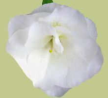 White Azalea Petals by Betty Mackey