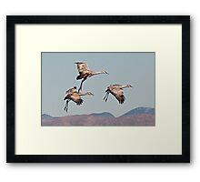 0102103 Sandhill Cranes Framed Print