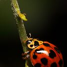 Lady beetle with a climb ahead by Andrew Durick