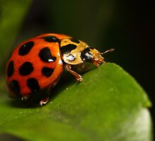 Lady beetle on a leaf by Andrew Durick