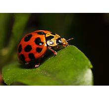 Lady beetle on a leaf Photographic Print