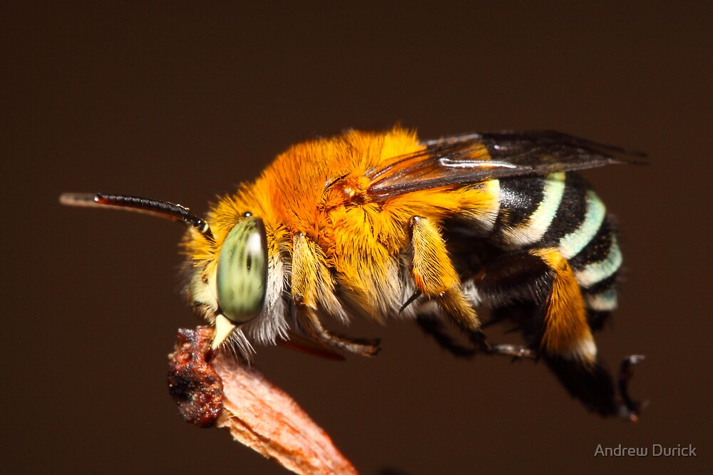 Blue Banded Bee resting on a twig by Andrew Durick