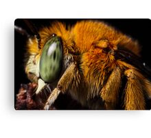 Blue Banded Bee up close Canvas Print