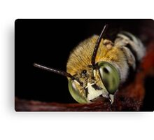Blue Banded Bee face on Canvas Print