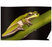 Dwarf tree frog Poster
