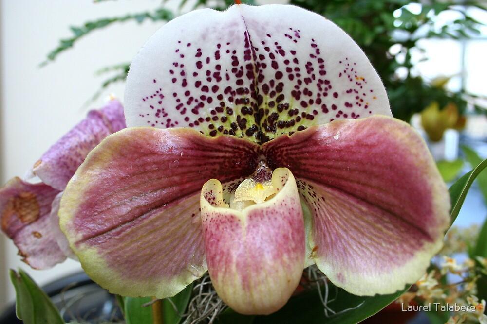 Bulldog Slipper Orchid (paphiopedilum complex hybrid) by Laurel Talabere
