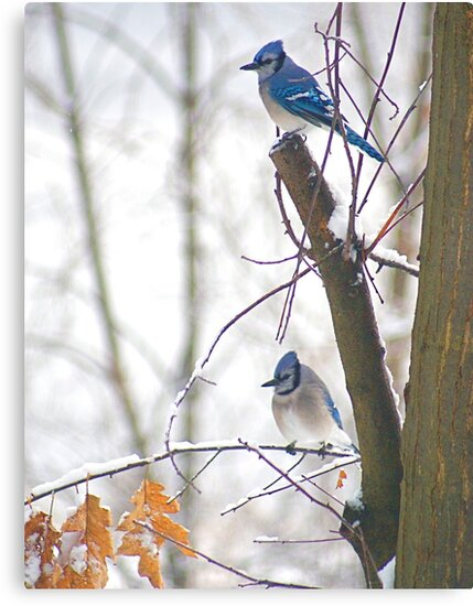 Blue Jays in Winter by Louise Fahy